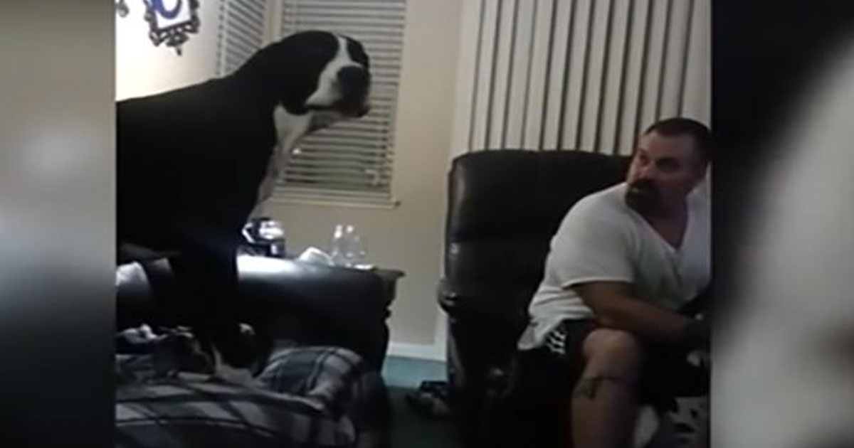 A Great Dane dog doesn't like to be ignored, and gets the funniest rage attack ever seen