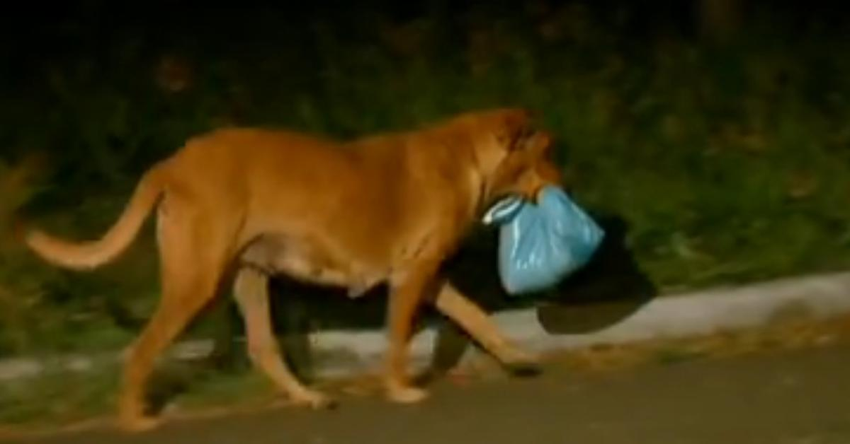 No, that's not a trash bag. You will be amazed when you find out what this female dog carries
