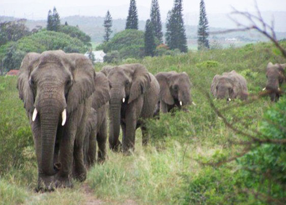 When a man who saved and rehabiliated elephants passed away, two herds of elephants did something that amazed the world!
