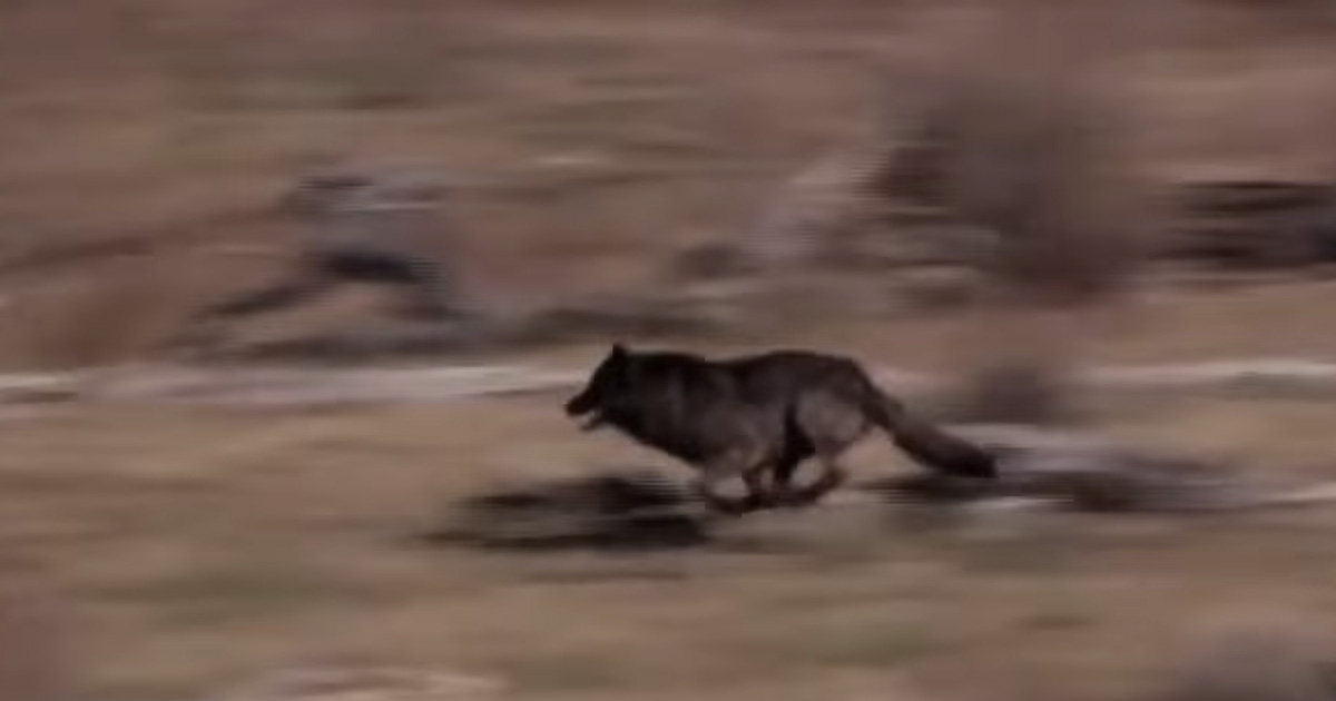 They released 14 wolves to the wild. What happend after that is a mircle.. wait to 3:08 minutes. Crazy!
