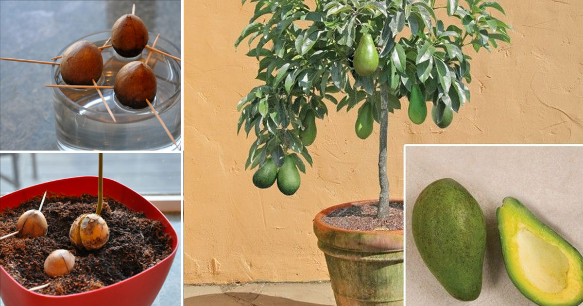 Stop buying avocados! This is how you can grow an avocado tree at home in a small pot