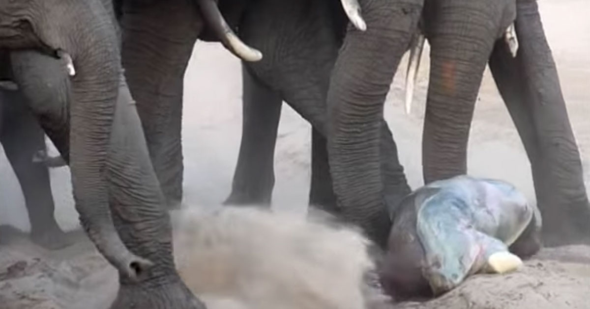 An elephant just gave birth to a cub. Now look how the herd welcomes him into the family