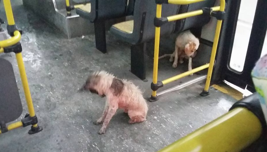 A Bus driver stopped the bus during a ride to allow two wandering and wet dogs to come up as it was heavily raining outside