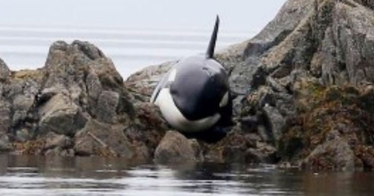Killer whale was stuck and about to die - but a man approached and did a remarkable thing to save his life