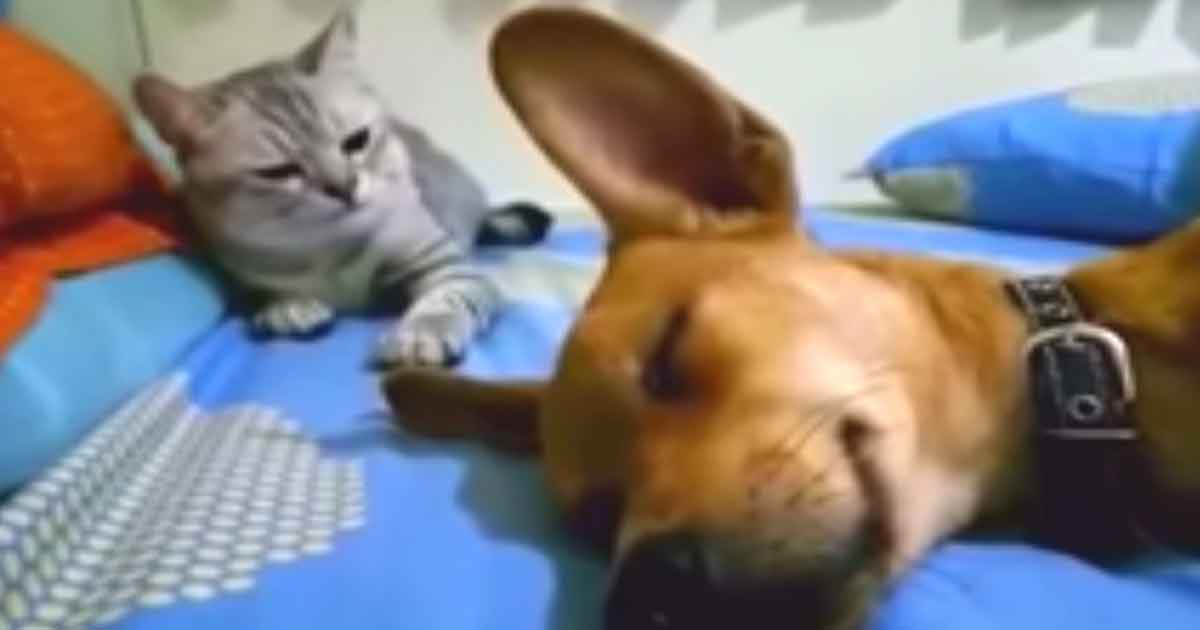 A sleeping dog releases a powerful fart - the cat's response caused millions of people to tear with laughter