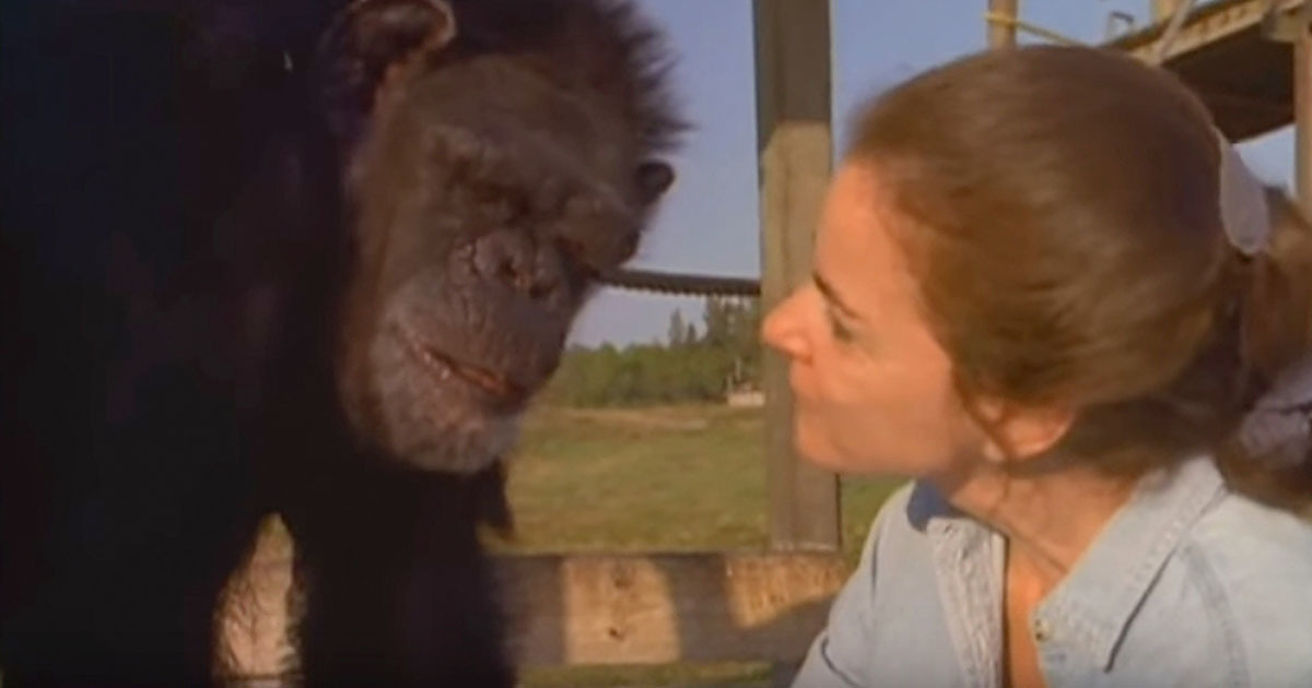 She saved the lives of the chimpanzees - 18 years later, she ignored the warnings and approached them
