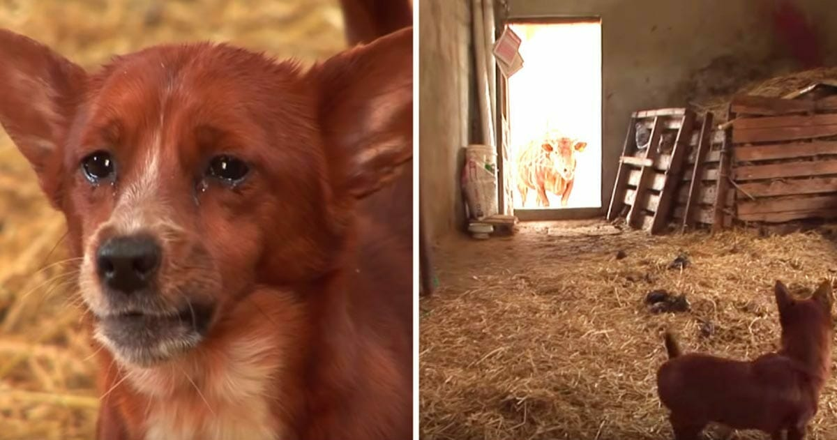 A sad dog was separated from the cow that raised him - the camera recorded the tearful moment in which they reunited again
