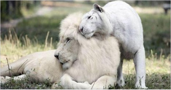 White lion and white tigress gave birth to babies, and you've never seen anything like it