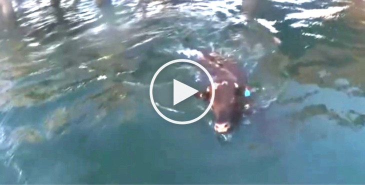 Desperate, this cow jumped off a ship to escape certain death